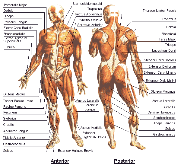 Human Anatomy Chart - Physiology Chart - Physiology Diagram. Chart ...