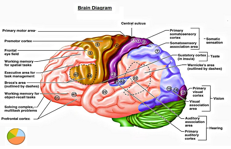 Brain brain chart brain diagram human brain brain parts brain brain chart brain diagram human brain brain parts human brain parts as studied in medicine image of a brain printable ccuart Gallery