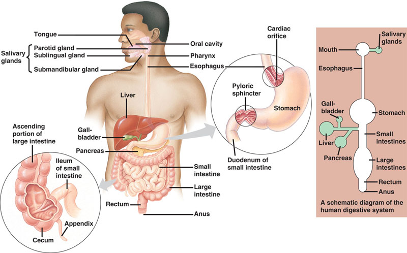 Digestive system digestive system diagram digestive system chart digestive system diagram alt ccuart Images