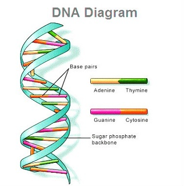 Dna model diagram wiring library dna diagram human dna dna sequence diagram of dna dna rh ygraph com dna structure diagram dna structure diagram 3d ccuart Image collections