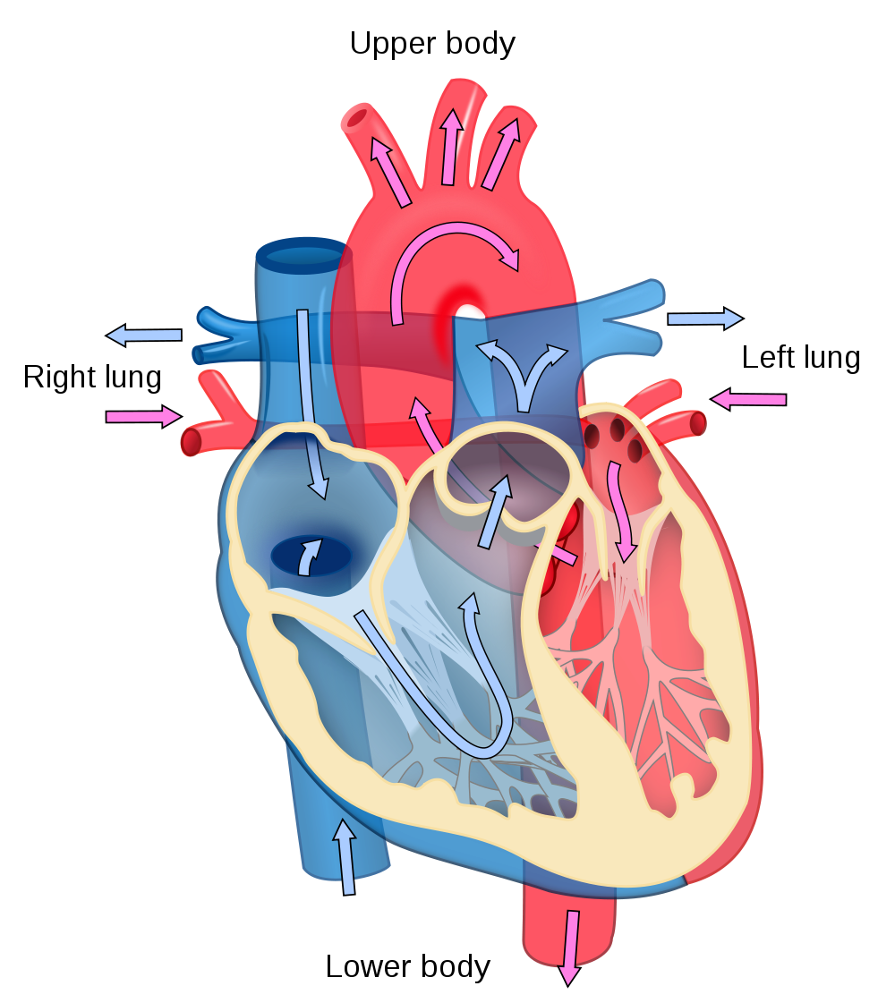 Heart diagram diagram of heart diagram of the heart heart diagrams of a heart diagram of the human heart shows parts of the heart human heart chart shows flow of blood through the circulatory system and pooptronica