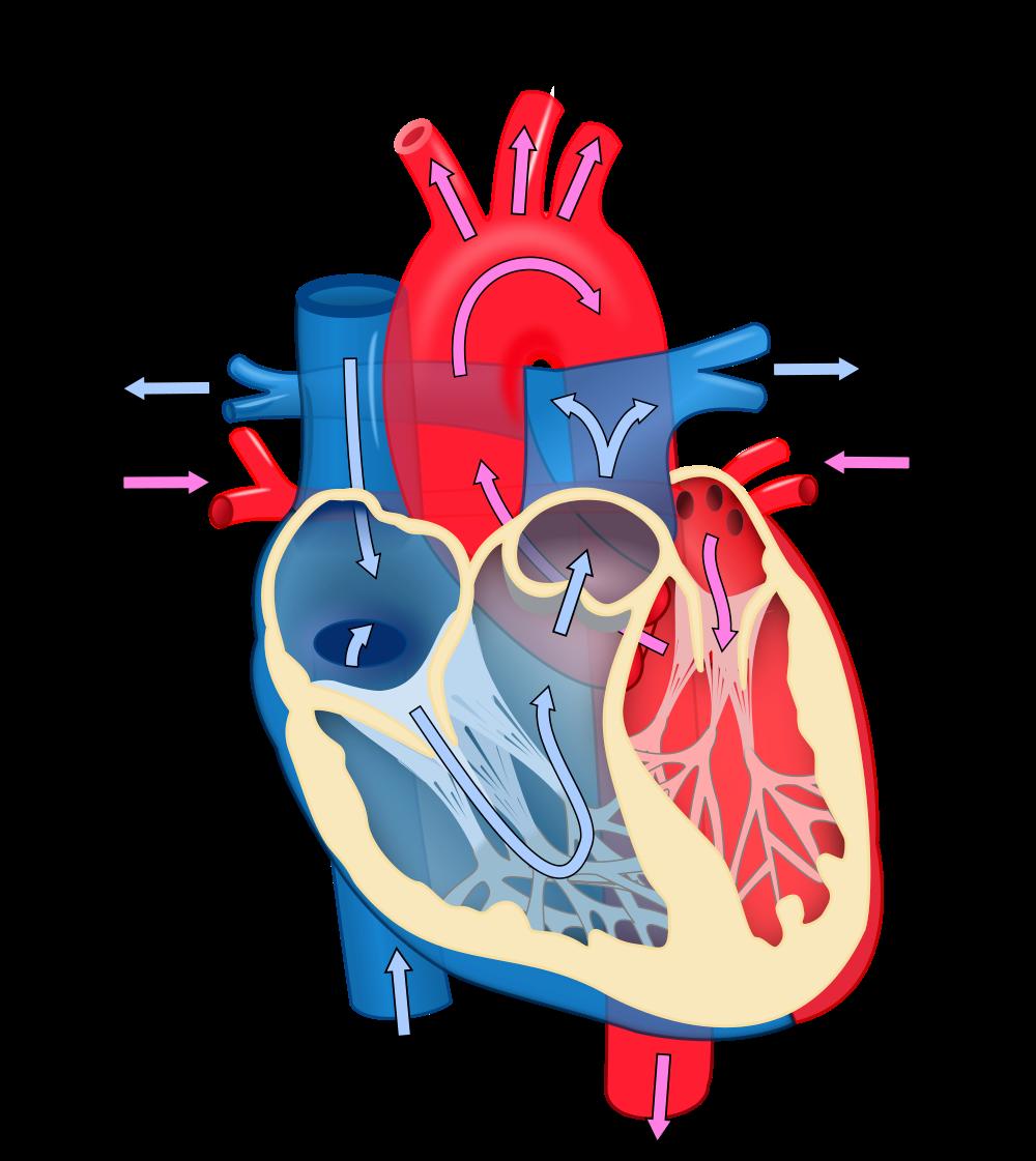 Heart Diagram Diagram Of Heart Diagram Of The Heart Heart