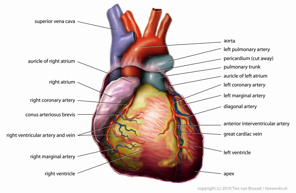 Heart diagram diagram of heart diagram of the heart heart source circulatorysystem heart diagram alt ccuart Choice Image