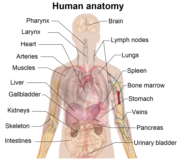 human body   human body chart   human body charts   human anatomy    human body anatomy charts showing organs    s  source  thecountymedicalexaminers http   ygraph com chart