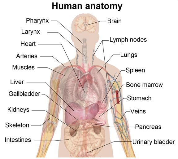 Human Body Human Body Chart Human Body Charts Human Anatomy