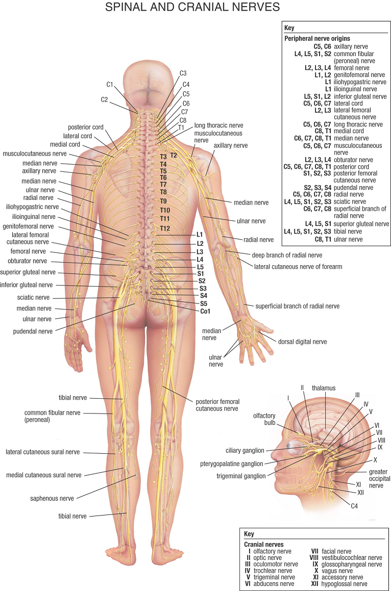 Human body human anatomy human nerve system types of nerves source warriorpages nervous system diagram alt ccuart Choice Image