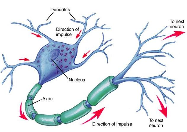 Neuron diagram neuron chart picture of neuron neuron neuron diagram neuron chart picture of neuron neuron structure neurons source mcgraw hill httpygraphchart1600 ccuart Images