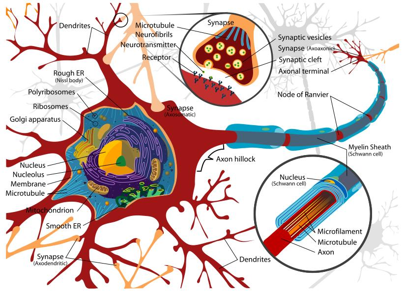 Neuron cell diagram neuron chart part of neuron dendrite neuron cell diagram neuron chart part of neuron dendrite microtubule neurofibril neurotransmitter synapse mitochondrion neuron myelin nucleolus ccuart Choice Image