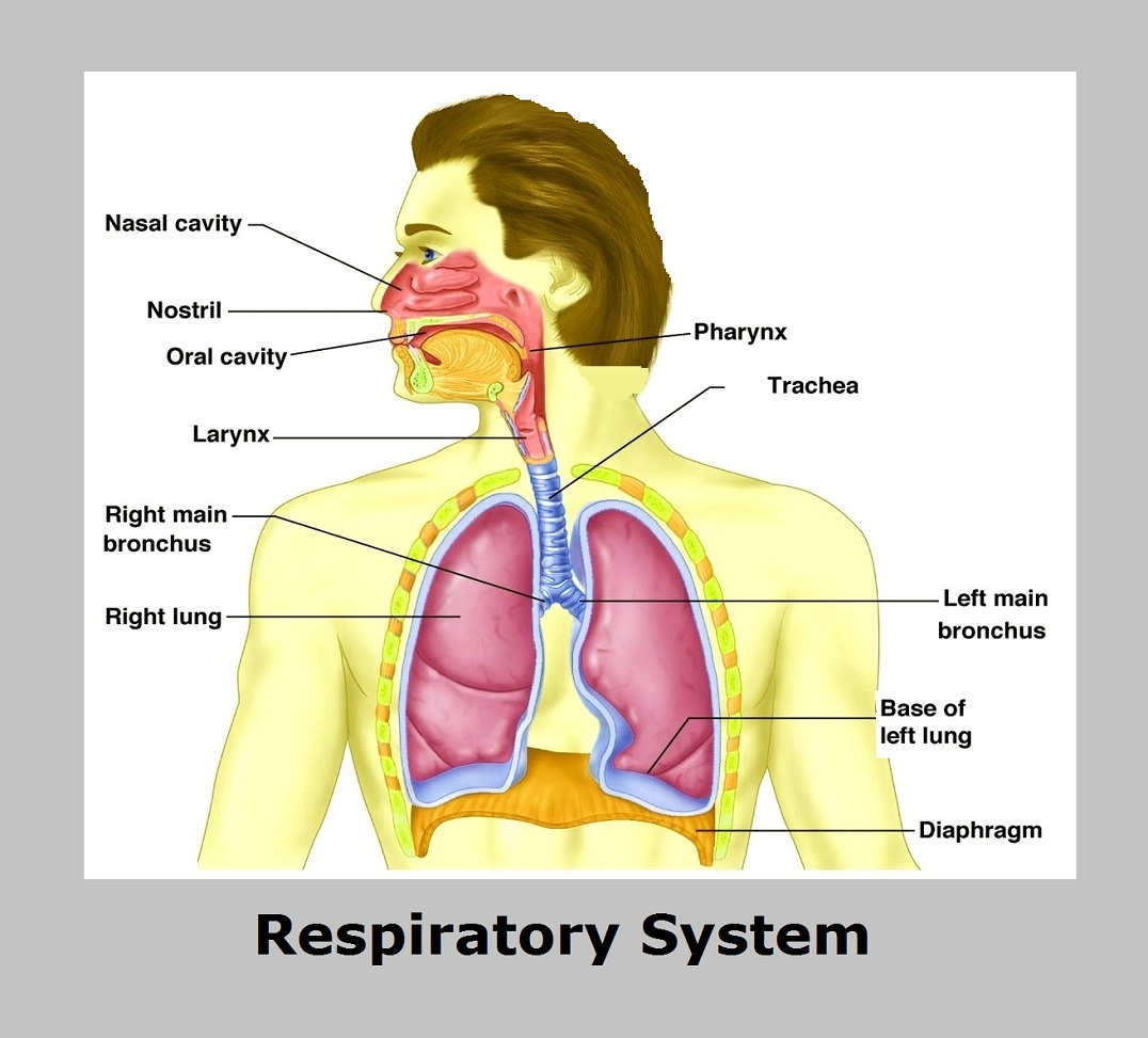 Diagram Of Parts Of Respiratory System House Wiring Diagram Symbols