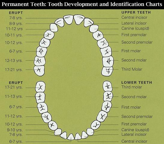 Teeth Chart Dental Chart Tooth Chart Permanent Teeth Diagram